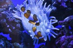 Pescados del payaso de Anemonia Foto de archivo libre de regalías