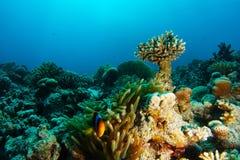 Pescados del payaso de la anémona dentro del jardín coralino foto de archivo libre de regalías