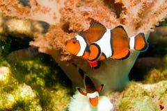 Pescados del payaso de Nemo Imagen de archivo libre de regalías