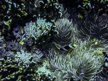 Pescados del payaso, del nemo o de anémona subacuáticos Imagen de archivo
