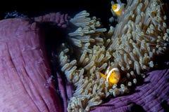 Pescados del payaso en anémona con los camarones en Raja Ampat Papua, Indonesi Fotografía de archivo