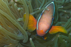 Pescados del payaso en anémona de mar verde Imagen de archivo libre de regalías