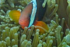 Pescados del payaso en anémona de mar verde Imágenes de archivo libres de regalías