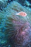 Pescados del payaso en anémona de mar verde púrpura Foto de archivo libre de regalías