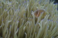 Pescados del payaso en anémona de mar verde y azul Foto de archivo libre de regalías