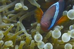 Pescados del payaso en anémona de mar verde y azul Fotografía de archivo