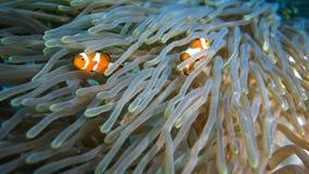 Pescados del payaso en coral foto de archivo