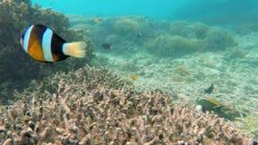 Pescados del payaso en el arrecife de coral almacen de metraje de vídeo