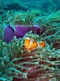 Pescados del payaso en el filón coralino Foto de archivo