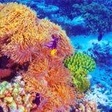 Pescados del payaso en el jardín coralino imagen de archivo