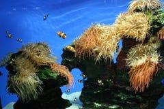 Pescados del payaso en el tanque imagen de archivo libre de regalías