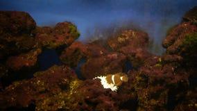 Pescados del payaso en plancton en acuario metrajes