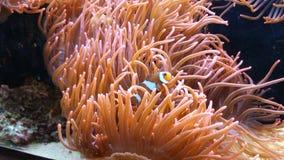 Pescados del payaso en una anémona de mar Imagen de archivo libre de regalías