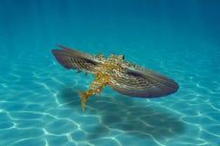 Pescados del perlón de vuelo subacuáticos sobre el fondo del mar arenoso imagen de archivo