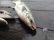 Pescados del primer Imagenes de archivo