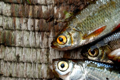 Pescados del río Imágenes de archivo libres de regalías