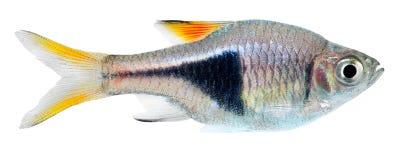 Pescados del rasbora del Harlequin Foto de archivo