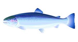 Pescados del salmón atlántico libre illustration