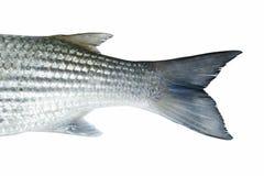 Pescados del salmonete Imagen de archivo libre de regalías