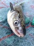 Pescados del salmonete Foto de archivo libre de regalías