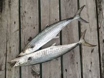 Pescados del Scomber Fotografía de archivo