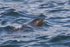 Pescados del sello del cabo que flotan en el mar Fotografía de archivo