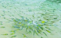 Pescados del tigre en el mar tropical Imagenes de archivo