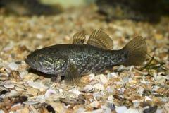 Pescados depredadores Foto de archivo libre de regalías