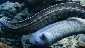 Pescados despredadores del salto largo mediterráneo del Moray - dos morays nadan bajo el agua almacen de metraje de vídeo