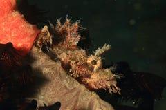 Pescados - devilfish espinoso fotografía de archivo