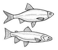 Pescados dibujados mano de la cucaracha Imágenes de archivo libres de regalías