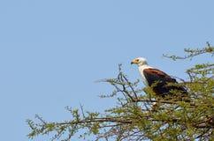 Pescados Eagle Imagen de archivo