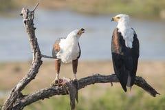 Pescados Eagle Foto de archivo libre de regalías