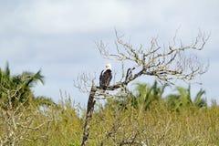 Pescados Eagle africanos, como nuestro Eagle calvo americano, en sitio del St Lucia Wetland Park World Heritage de la rama de árb Imagen de archivo libre de regalías
