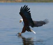 Pescados Eagle africanos en el momento que el ataque en la presa kenia tanzania safari La África del Este imagen de archivo