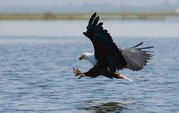 Pescados Eagle africanos en el momento que el ataque en la presa kenia tanzania safari La África del Este imagenes de archivo