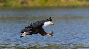 Pescados Eagle africanos en el momento que el ataque en la presa kenia tanzania safari La África del Este imágenes de archivo libres de regalías
