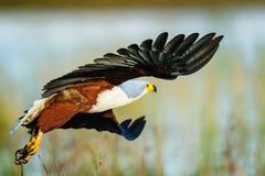 Pescados Eagle Take-Off Imágenes de archivo libres de regalías