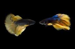 Pescados elegantes de Betta, pescados que luchan siameses o splendens Bl de Betta Imagen de archivo