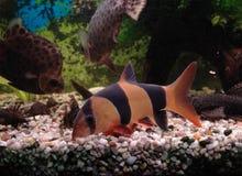 Pescados en acuario Fotos de archivo libres de regalías