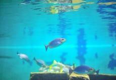 Pescados en acuario. Imagen de archivo libre de regalías