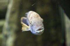 Pescados en acuario Imagenes de archivo