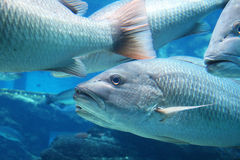 Pescados en acuario Imágenes de archivo libres de regalías