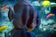 Pescados en acuario marina Imágenes de archivo libres de regalías