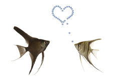 Pescados en amor Imagen de archivo libre de regalías