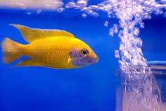 Pescados en aquariam Imagen de archivo libre de regalías