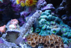 Pescados en coral Imagen de archivo