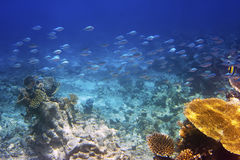 Pescados en corales maldives El Océano Índico foto de archivo libre de regalías