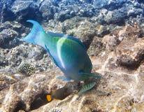Pescados en corales maldives El Océano Índico scarus, pescado del loro fotos de archivo libres de regalías