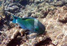 Pescados en corales maldives El Océano Índico y x28; scarus, fish& x29 del loro; foto de archivo